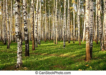 Birch Grove in early autumn