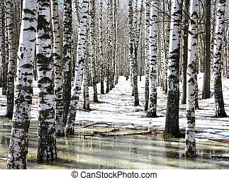Birch grove in early spring water