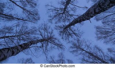 Birch grove in evening light