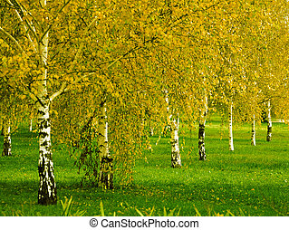 birch grove in the early autumn season