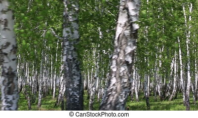 Birch grove in the spring.
