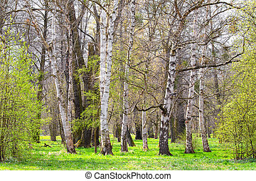 birch grove in the spring landscape background