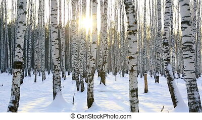 Birch grove in winter sunrise