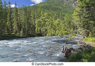 Birch hung over the mountain river. Altai Mountains, the...