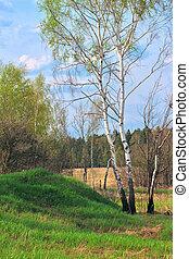 birch in a spring forest