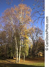 Birch in Autumn 1