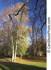 Birch in Autumn 2