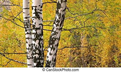 Birch in autumn park - Bright birch tree in autumn park
