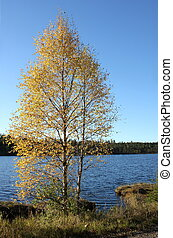 Birch In Front Of Lake