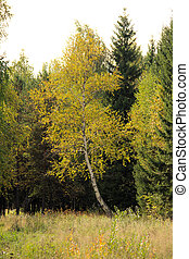 Birch in the autumn forest