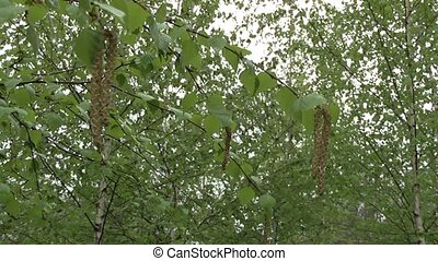 birch in the garden in spring