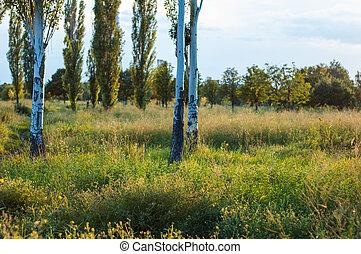 birch in the park