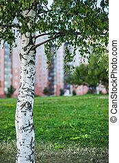 Birch in the park.