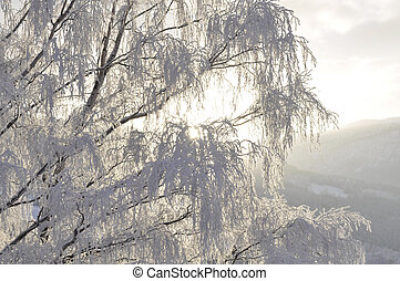 birch in wintersunshine
