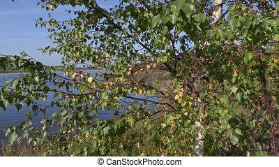 Birch landscape on a sunny summer day