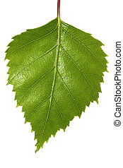 Single silver birch tree leaf, isolated on white. Macro view of this new spring growth.