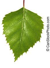 Birch Leaf - Single silver birch tree leaf, isolated on...