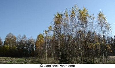 birch leaf tree fall