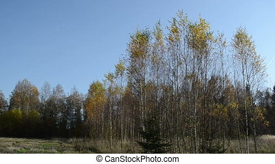 birch leaf tree fall