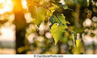 Birch leaves (Betula pendula) branches, bokeh background....