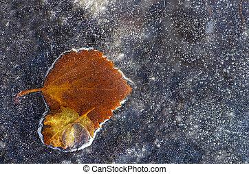 Birch leaves frozen in ice