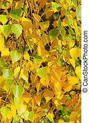 birch leaves in fall 01