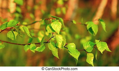 Birch leaves in the sunset