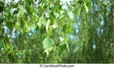 birch leaves on a wind