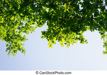 birch leaves shining in sun on blue sky background