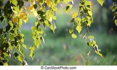Birch leaves swaying on  wind in early autumn