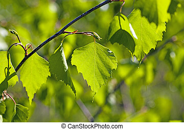 birch leaves - the green leaves of a birch photographed by a...
