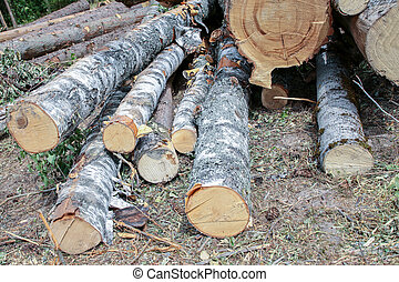 birch logs with bark lie on the ground, sawmill harvesting