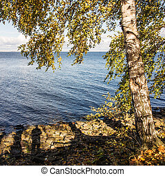 birch near water