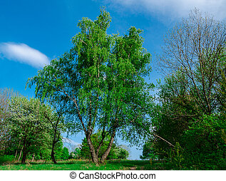 birch old big tree in the park against the blue sky on a warm spring day