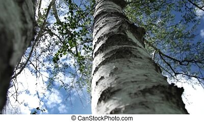 Birch on a background of blue sky and clouds. Bottom view.