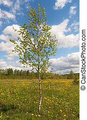 Birch on a spring meadow
