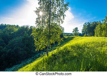 Birch on a steep slope in the light of the contour. - A...