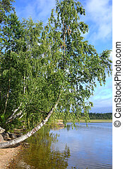 Birch on the bank of lake.
