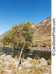 Birch on the river bank