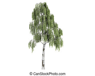 Birch or Betula - Birch or latin Betula isolated on white ...