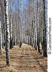 Birch path