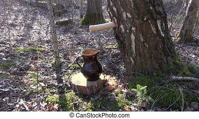 Birch sap dripping in jug - Birch tree sap dripping in a...