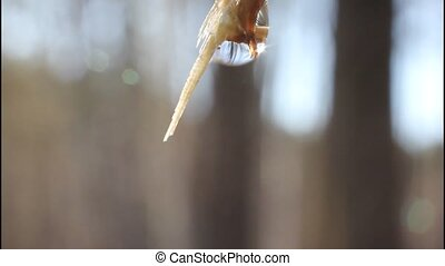 Birch sap. - Early spring birch give a lot of juice, which...