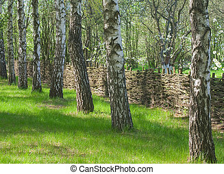 Birch shady grove and an old wattled fence at spring season