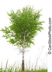 Single birch on white ground