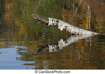 Birch Snag Reflectiion on an Autumn Lake
