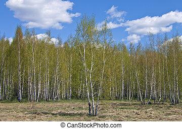 Birch spring