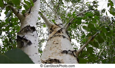 Birch. - The trunk and branches of birch trees in the forest