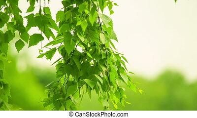 Birch swaying. Blurred background.