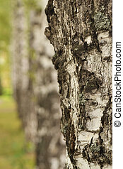 birch texture close-up in the forest